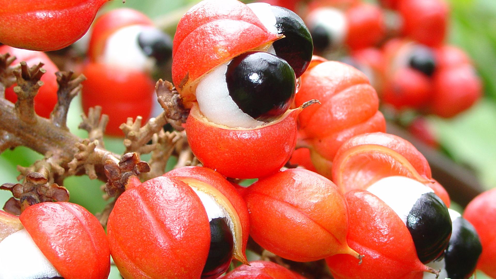 owoce guarana a ich wpływ na odchudzanie