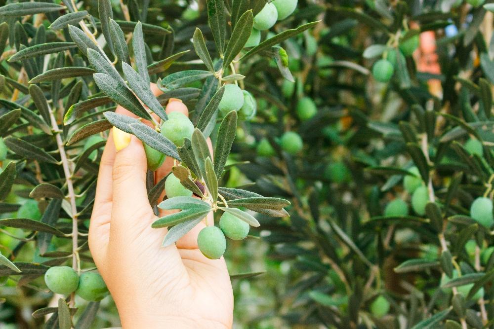 kobieta dotyka liści oliwki europejskiej jednego ze składnika Ketiminal Slim