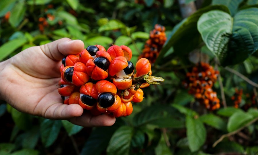 kiść owoców guarany zawierających kofeinę, jeden ze składników lineashape