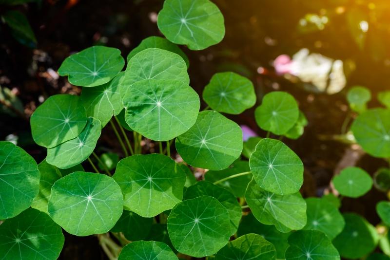 zbliżenie na zielone liście wąktorki azjatyckiej